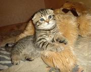 Шотландские котята фолды и страйты. Мальчики.