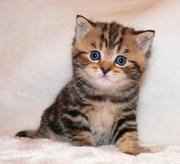 Продаются британские котята с отличной родословной