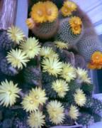 кактусы разные